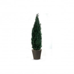 COL/0120 Колумнарис зеленый