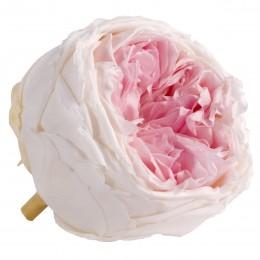 RGAB/2040 Роза пионовидная биколор 6 гол.