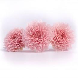 FOC/2420 Хризантема фокус светло-розовый