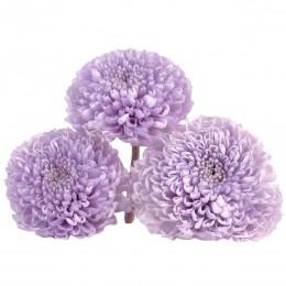 FOC/1820 Хризантема фокус лиловый