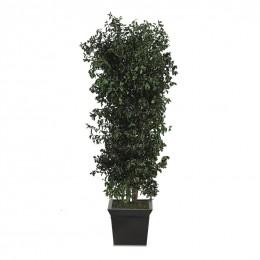 API/0118R Питоспорум дерево ветвистое / 180