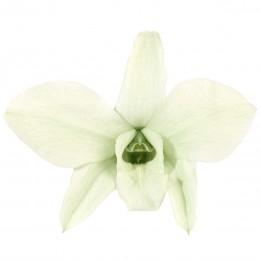DEN/1100 Орхидея Дендробидиум 5 гол. зеленый
