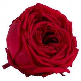 RGA/2200 Роза пионовидная красная 6 гол.