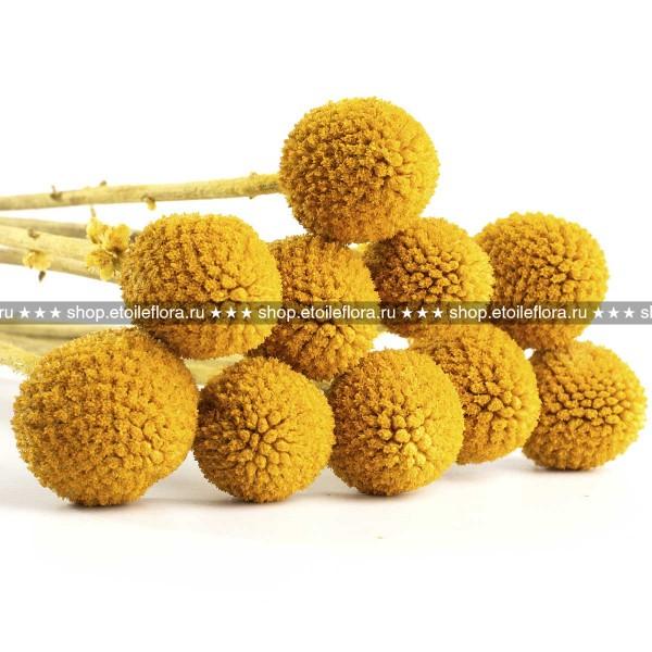 Краспедия CRA/0305 соцветие желтое
