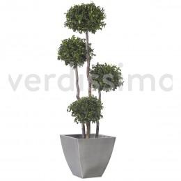 ABP/0118R Питоспорум дерево 4 шар