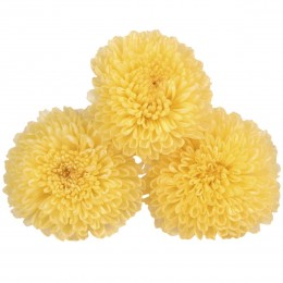 FOC/1320 Хризантема фокус желтый